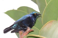 Free Blue-eared Glossy-Starling Royalty Free Stock Images - 709289