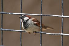 Free House Sparrow Looking Up Royalty Free Stock Photo - 709425