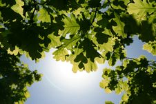 Free Backlit Leaves Royalty Free Stock Photos - 7006708