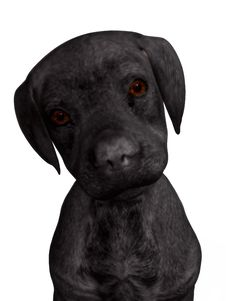 Labrador Puppy Royalty Free Stock Photo