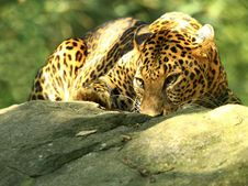 Free Leopard Royalty Free Stock Photo - 7007715
