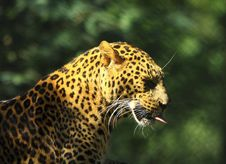 Free Leopard Royalty Free Stock Images - 7007719