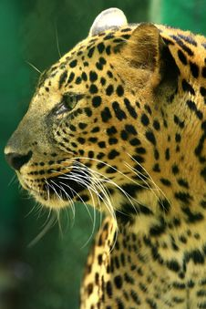 Free Leopard Royalty Free Stock Image - 7007746