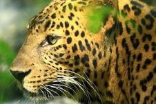 Free Leopard Stock Photo - 7007910