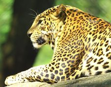 Free Leopard Stock Images - 7007924