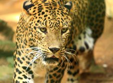 Free Leopard Royalty Free Stock Image - 7007976