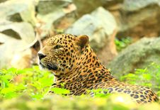 Free Leopard Royalty Free Stock Photography - 7007977