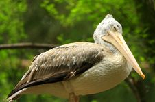 Free Pelican Stock Photography - 7008012