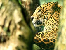 Free Leopard Royalty Free Stock Images - 7008119