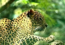 Free Leopard Stock Photo - 7008120