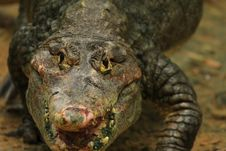 Free Crocodile Stock Photos - 7008133