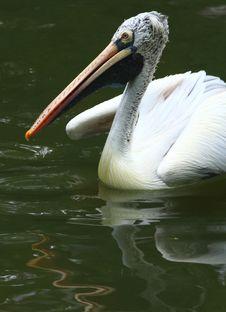 Free Pelican Stock Image - 7008151