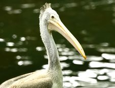 Free Pelican Stock Photography - 7008182