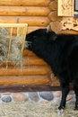 Free Black Bull Stock Photo - 7012740