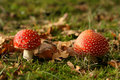 Free Autumn Scene: Two Toadstools Stock Image - 7019231