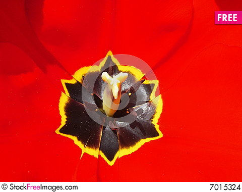 Free Red Tulip Stock Images - 7015324