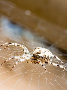 Free Spider Royalty Free Stock Photography - 7010177