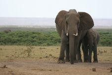 Free African Elephant Royalty Free Stock Photography - 7012967