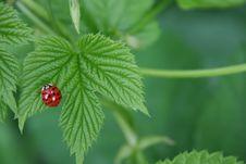 Free Ladybug On Young Leaf Royalty Free Stock Photo - 7014435