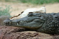 Free Nile Crocodile Stock Photo - 7014620