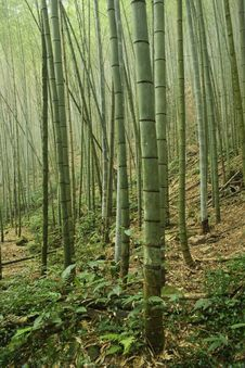 Free Bamboo Forest Royalty Free Stock Photo - 7015035