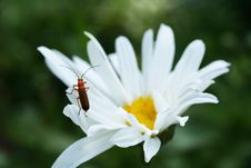 Free Red Beetle On A Daisy Royalty Free Stock Photos - 7015158