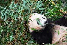 Free Panda Biting Bamboo Royalty Free Stock Images - 7015309