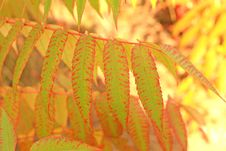 Free Sumac Leaves Stock Photography - 7015772