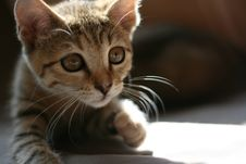 Free Kitten Looking For A Prey Royalty Free Stock Image - 7015776