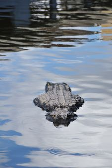 Free Alligator Royalty Free Stock Photography - 7016157