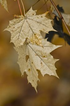 Free Faded Yellow Maple Leaf Royalty Free Stock Images - 7016899