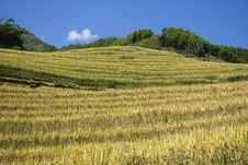 Free Hills And Rice Terraces Royalty Free Stock Image - 7017446
