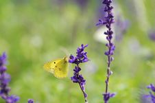Free Butterfly Royalty Free Stock Photography - 7017567