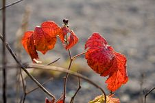 Free Utumn Red November Leaves Of A Blackberry Stock Photography - 7017622
