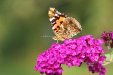 Free Butterfly Stock Photo - 7017720