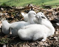 Three Cygnets Stock Photo