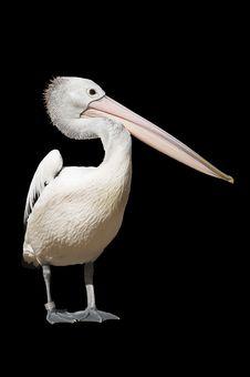 Free Pelican Stock Image - 7019461