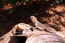 Free Little Lizards Stock Photo - 7019760