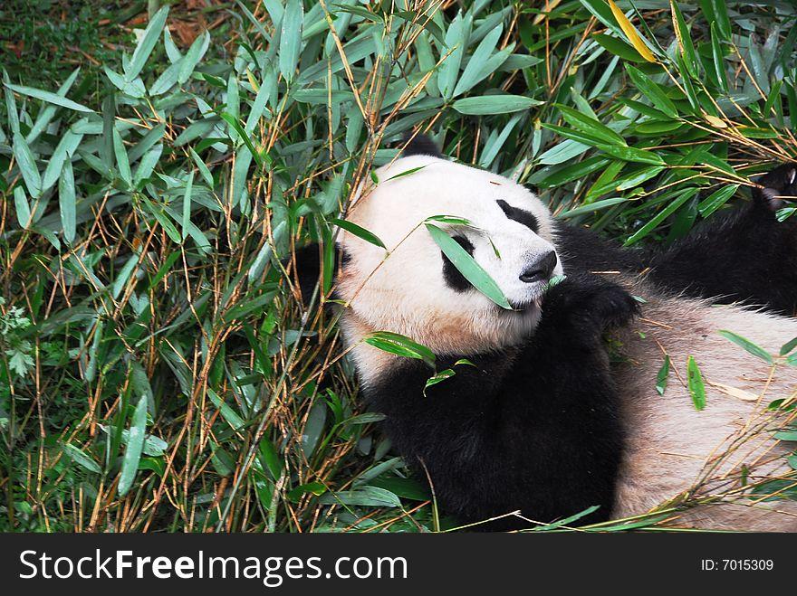 Panda Biting Bamboo