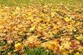 Free Multi-coloured Maple Leaves Stock Photos - 7022563