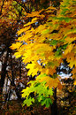 Free Multi-coloured Maple Leaves Royalty Free Stock Photography - 7022567