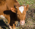 Free Cute Red Calf Royalty Free Stock Photo - 7023755