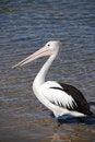 Free Pelican On Australian Coast Stock Images - 7023914