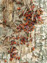 Free Large Colony Of Red Bugs Royalty Free Stock Images - 7027719
