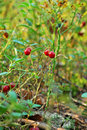 Free Berries Cranberries Royalty Free Stock Images - 7029099