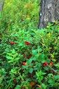 Free Berries Cranberries Royalty Free Stock Photos - 7029178