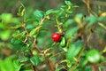 Free Berries Cranberries Royalty Free Stock Photos - 7029238