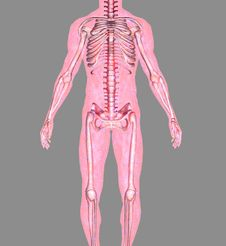 Free Anatomy Royalty Free Stock Image - 7020056