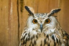 Free Big-eared Owl Royalty Free Stock Images - 7020099