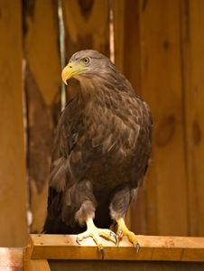 Free Golden Eagle Stock Photography - 7020222